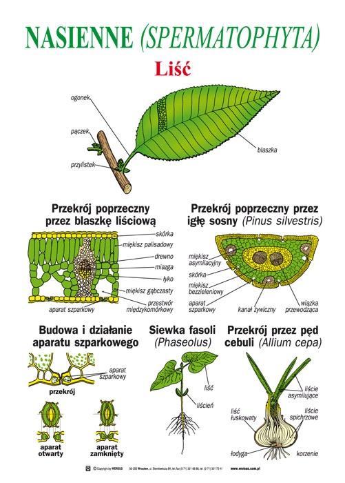 nagonasienne rośliny przykłady